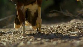 Unicinctus de Hawk Parabuteo de Harris en el desierto Arizona, depredador al sudoeste del Sonora imagen de archivo libre de regalías