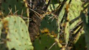 Unicinctus de Hawk Parabuteo de Harris no deserto o Arizona do Sonora, predador do sudoeste imagem de stock