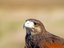 Unicinctus de Parabuteo - portrait de faucon de Harris sur un falco juste images libres de droits