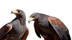 Unicinctus di Harris Hawk Parabuteo immagini stock libere da diritti