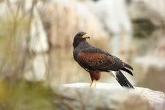 Unicinctus di Parabuteo Un uccello predatore di medie dimensioni della famiglia del predatore, variante dagli Stati Uniti sudocci Fotografie Stock Libere da Diritti