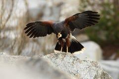 Unicinctus di Parabuteo Un uccello predatore di medie dimensioni della famiglia del predatore, variante dagli Stati Uniti sudocci Fotografia Stock Libera da Diritti