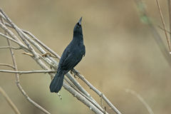 Unicolored blackbird, Agelaius cyanopus Stock Images