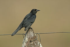 Unicolored blackbird, Agelaius cyanopus Royalty Free Stock Image