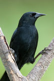 Unicolored Blackbird (Agelasticus cyanopus). Perching on a branch Stock Photography