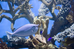 Unicorn. Fish (Naso brevirostris) swimming over coral reef Royalty Free Stock Photos