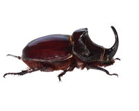 Unicorn beetle isolated on white Stock Photography