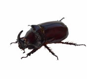 Unicorn beetle isolated on white Royalty Free Stock Photography
