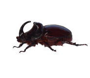 Unicorn beetle isolated on white Royalty Free Stock Images