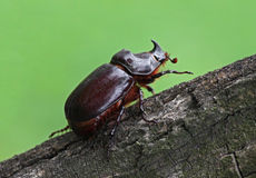 Unicorn beetle Royalty Free Stock Photography