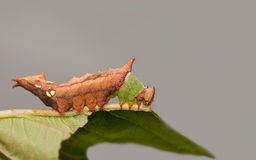 Unicorn Caterpillar moth Stock Images