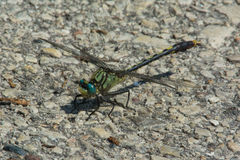 Unicorn Clubtail Royalty Free Stock Photos