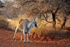 Unicorn Eland Royalty Free Stock Images
