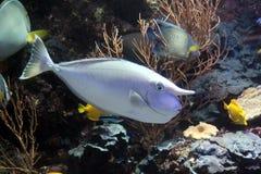 Unicorn fish Stock Images