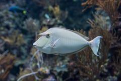 Unicorn Fish Foto de Stock Royalty Free