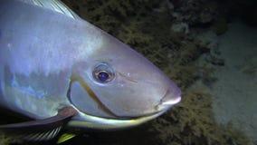 Unicorn fish bluespine unicornfish in the night Red sea. Seaduring November diving safari in November 2016 stock footage