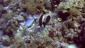 Unicorn fish changing color in Red sea. Red sea stock video