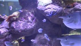 Unicorn fish in coral reef aquarium stock video