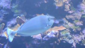 Unicorn fish. Near the Hawaii islands stock video footage