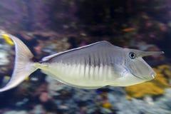 Unicorn fish. Side view of unicorn fish swimming underwater Stock Photography
