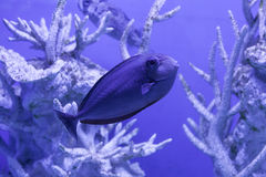 Unicornfish关闭 免版税库存图片