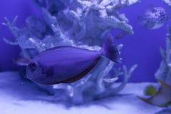 Unicornfish, naso brevirostris关闭  图库摄影