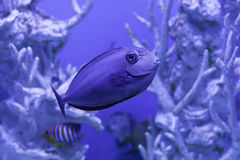Unicornfish, naso brevirostris关闭  免版税图库摄影
