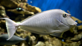 Unicornfish 1 Stock Images