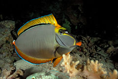 Unicornfish Stock Photography