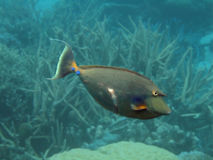 Unicornfish. With scar from shark attack Royalty Free Stock Image
