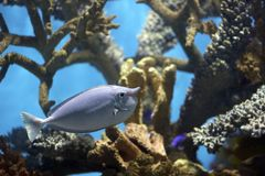 Unicornfish. Spotted Unicornfish in coral Royalty Free Stock Image