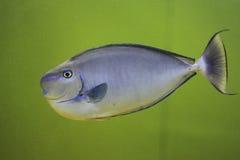 Unicornfish Bignose Стоковое Фото