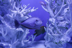 Unicornfish bland de härliga korallerna Arkivbild