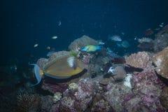 Unicornfish Bluespine Стоковые Изображения
