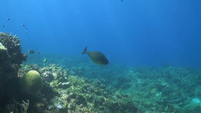 Unicornfish with Cleanerfish on a coral reef stock video