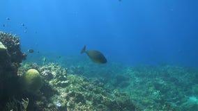 Unicornfish with Cleanerfish on a coral reef. Bannerfish, Damselfish and Triggerfish stock video