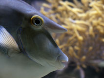 Unicornfish Closeup. Aquarium closeup from an unicorn-fish Stock Image