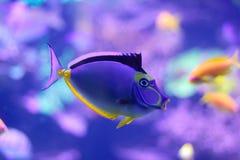 Unicornfish de Barcheek/espiga do naso/unicornfish da alaranjado-espinha fotografia de stock royalty free
