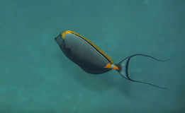 Unicornfish de Orangespine Imagens de Stock Royalty Free
