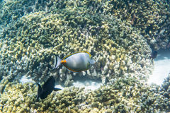 Unicornfish de Orangespine Fotografia de Stock Royalty Free