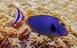 Unicornfish elegantes bonitos que mostram suas cores v?vidas foto de stock royalty free