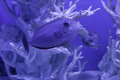 Unicornfish, naso brevirostris 库存照片