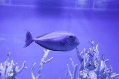 Unicornfish, naso brevirostris 免版税库存图片