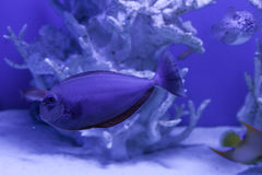 Unicornfish, naso brevirostris close up Stock Photography