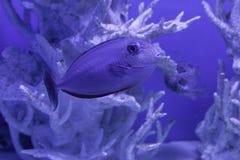 Unicornfish nasobrevirostris Arkivfoton