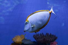 Unicornfish Orangespine плавает вниз Стоковые Изображения RF