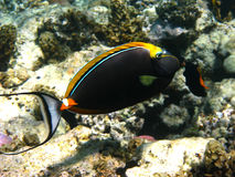 unicornfish orangespine Стоковое Изображение RF