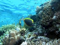 Unicornfish sulla scogliera immagini stock