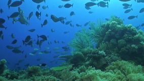 Unicornfishes on a coral reef. Unicornfishes swimming on a coral reef stock footage