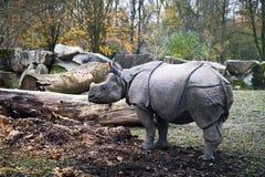 Unicornis носорога индийского носорога Стоковые Фотографии RF